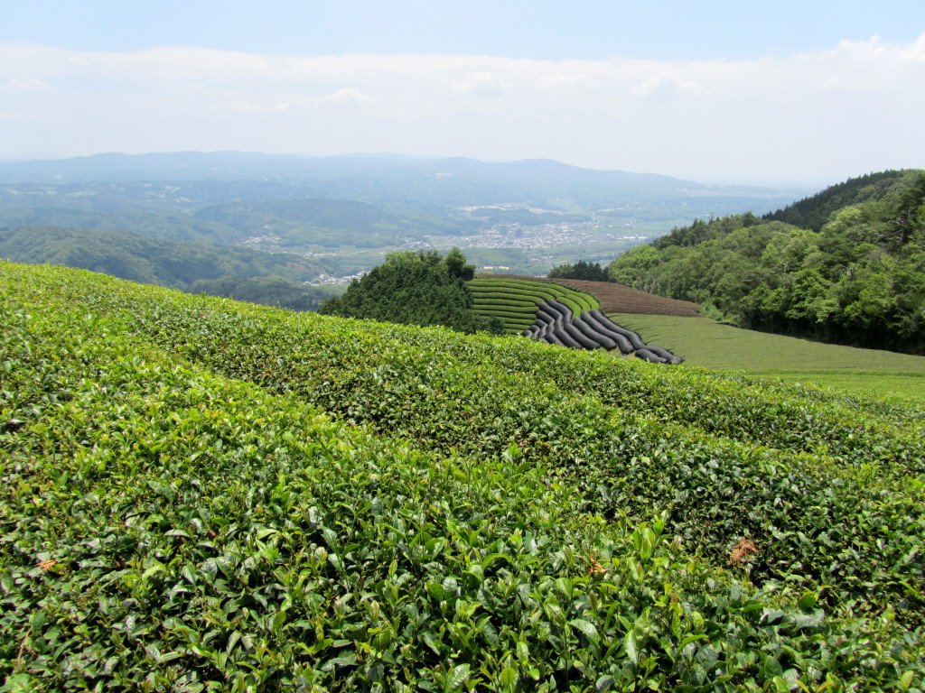 Tea fields of Wazuka